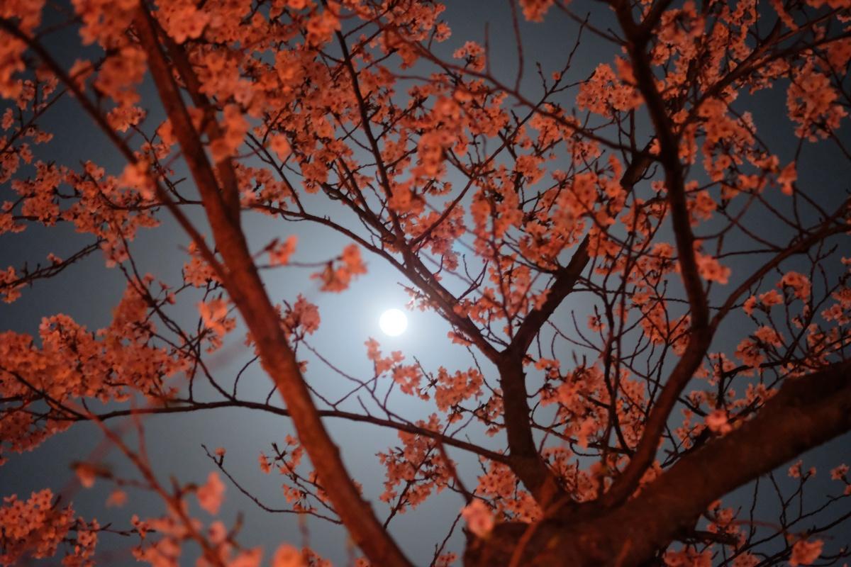 姫ちゃん初体験!お弁当持参で戦場ヶ原公園夜桜お花見!