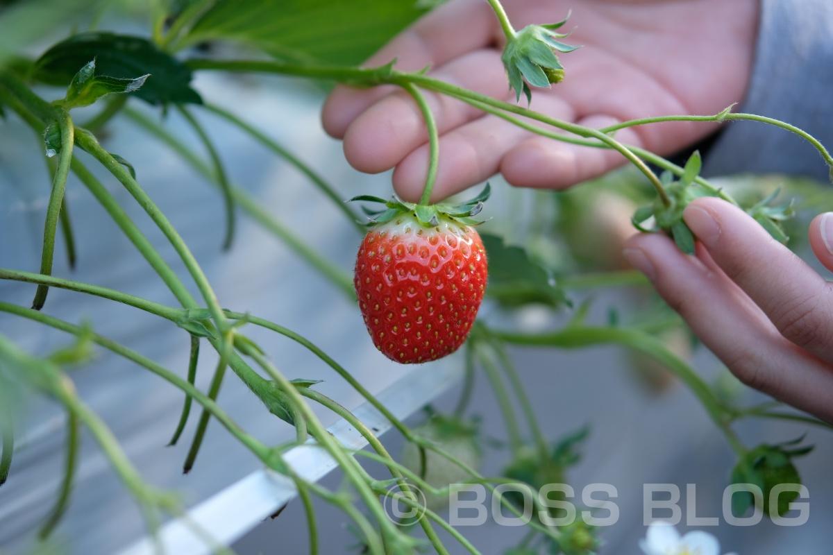 本日はブランディング・デザインプロジェクトの打ち合わせで防府市でいちご栽培をされている「しげきよ農園」さんへ